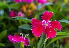 在绿色叶子背景的一些开花的土耳其红色康乃馨  图库摄影