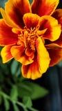 在绿色叶子背景的万寿菊花特写镜头橙红颜色  免版税库存照片