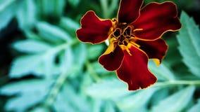 在绿色叶子背景的万寿菊花特写镜头橙红颜色  图库摄影