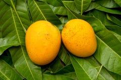 在绿色叶子背景的亚尔方索芒果热带水果 免版税库存图片