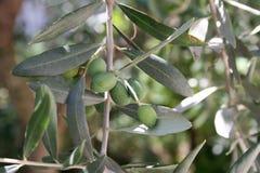 在绿色叶子背景的橄榄色的果子  免版税库存图片