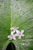 在绿色叶子背景的油桐花 免版税库存照片