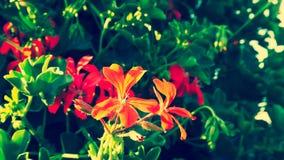 在绿色叶子背景的美丽的红色花,关闭看法 免版税库存图片