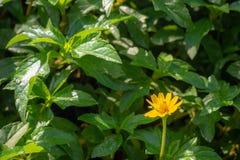 在绿色叶子背景的逗人喜爱的黄色花在公园 免版税库存图片