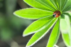 在绿色叶子,瓢虫的瓢虫在植物在春天爬行在庭院里在夏天 免版税库存图片