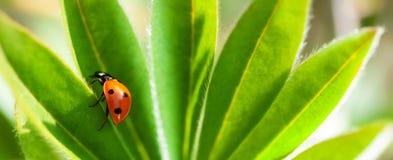 在绿色叶子,瓢虫的红色瓢虫在植物词根在春天爬行在庭院夏天 图库摄影