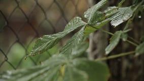 在绿色叶子,雨的雨珠在森林里 股票录像