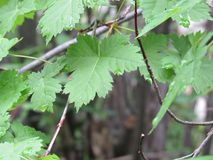 在绿色叶子2的露水 库存照片
