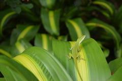 在绿色和黄色叶子的绿色Anole蜥蜴 图库摄影