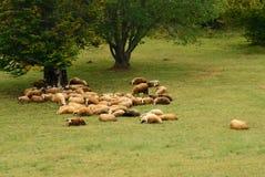 在绿色域的绵羊 免版税库存照片