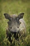在绿色域的Warthog 免版税库存图片