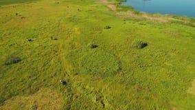 在绿色夏天草甸的美好的顶视图有母牛和蓝色湖的 股票录像