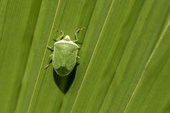 在绿色大叶子的绿色昆虫 库存照片