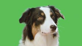 在绿色屏幕上的狗头 股票录像