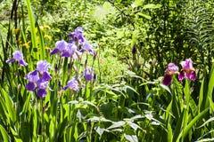 在绿色庭院背景的紫色虹膜花 免版税库存图片