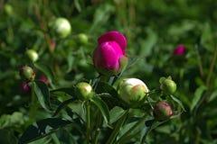 在绿色庭院草坪的unblown芽 免版税库存图片