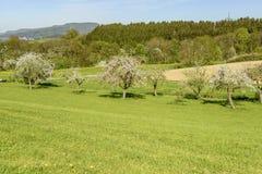 在绿色春天contryside, Baden Wut的开花的苹果树 免版税图库摄影