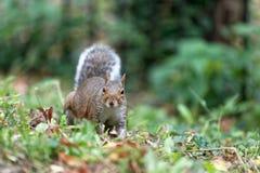 在绿色木头的灰色灰鼠 免版税库存图片