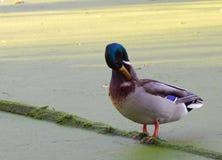 在绿色木头的鸭子在一个绿色湖 免版税库存图片