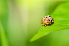 在绿色本质的瓢虫 免版税库存照片