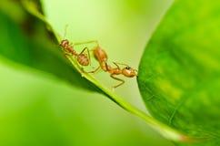 在绿色本质的红色蚂蚁 库存图片