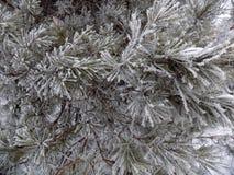 在绿色杉木分支的雪 背景美丽的森林 33c 1月横向俄国温度ural冬天 库存图片