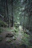 在绿色杉树森林里面 库存图片
