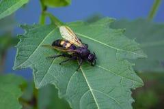 在绿色板料是一个巨大的黑黄蜂 免版税库存图片