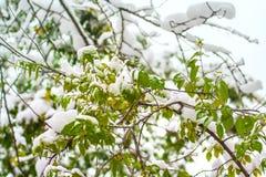 """在绿色树枝和叶子†""""降雪, 10月11月秋天,莫斯科,俄罗斯,欧洲的白色雪 库存照片"""
