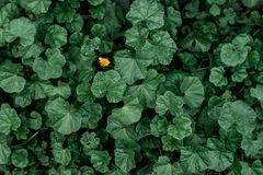 在绿色植物中的蒲公英本质上 概念是一个 想法是您 夏天草甸,秋天绿色植物 图库摄影