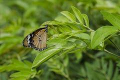 在绿色植物的一只蝴蝶 免版税库存照片