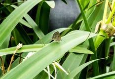 在绿色植物的东部盯梢蓝色蝴蝶 免版税库存图片
