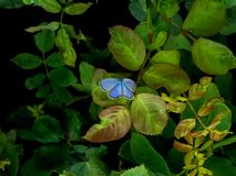 在绿色植物的美丽的矮小的蓝色蝴蝶 图库摄影