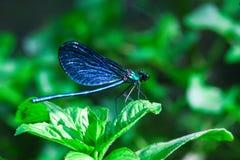 在绿色植物的蓝色蜻蜓在夏天 图库摄影
