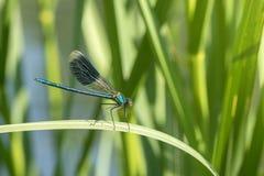 在绿色植物的蜻蜓 库存照片