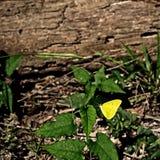 在绿色植物的黄色蝴蝶 图库摄影
