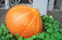 在绿色植物背景的橙色南瓜 库存图片