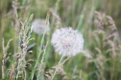在绿色植被背景的白色空气蒲公英特写镜头  免版税图库摄影