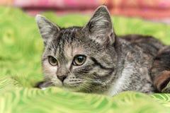 在绿色毯子的猫有眼睛反射的 库存图片
