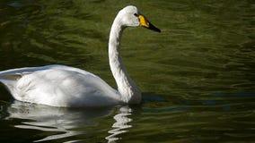 在绿色水池的白色天鹅 库存图片