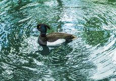 在绿色水漩涡的一只公装缨球鸭子  库存图片