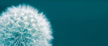 在绿色深蓝背景隔绝的蒲公英顶头宏观特写镜头照片以宽全景格式和大空的空间 库存图片