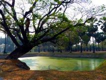在绿色湖前面的唯一大热带树在公园在泰国 库存图片