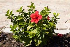 在绿色灌木内的一朵红色花 库存照片