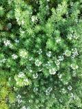 在绿色灌木的小的白花 免版税图库摄影