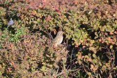 在绿色灌木的麻雀在公园 库存照片