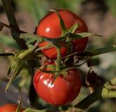 在绿色灌木选择聚焦的成熟红色蕃茄 免版税库存图片