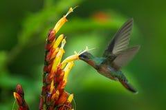 在绿色热带森林红褐色breasted长毛的隐士、Glaucis hirsutus、蜂鸟从特立尼达和Tobag的行动哺养的场面 免版税库存图片
