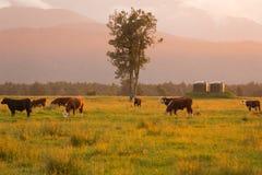 在绿色玻璃的奶牛与日落定调子 库存图片