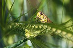 在绿色的一只蚂蚱特写镜头几乎没有朝向 免版税库存照片